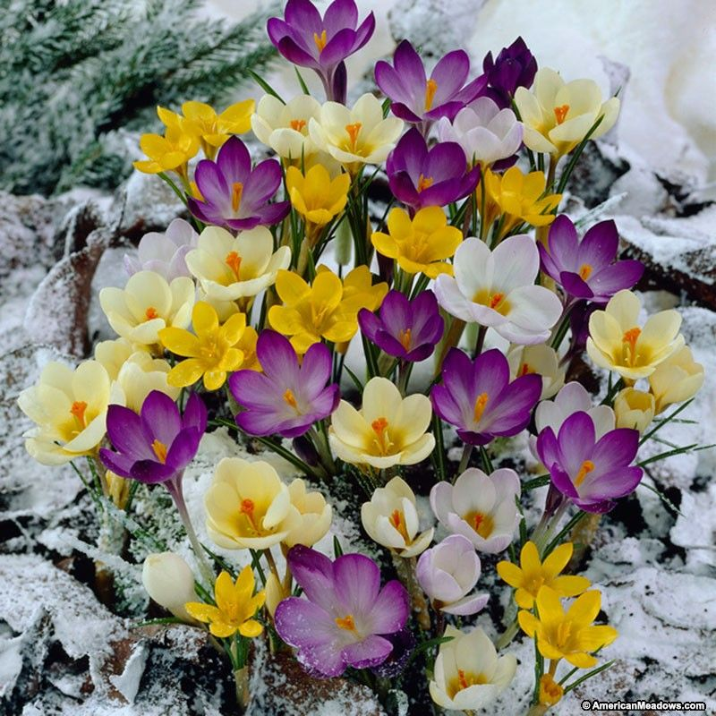 This mix of purple, white and yellow Crocus will pop up in early spring  through the snow. Tough yet cheerful, when this… | Crocus bulbs, Crocus  flower, Bulb flowers