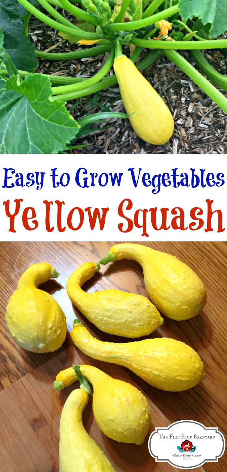 How To Grow Yellow Squash For Your Best Harvest Ever | Best Of The Flip  Flop Barnyard | Pinterest | Vegetables List, Gardens And Vegetable Garden