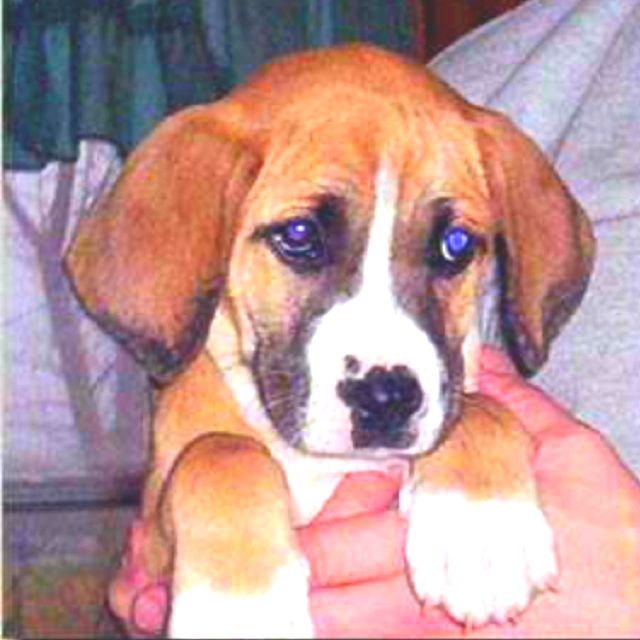 Beagle Boxer Mix Puppy Dog Pictures Boxer Beagle Mix