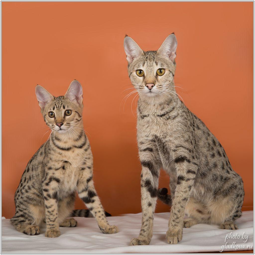 Savannah F2 With Her Kitten F3 Kitten Cats Animals
