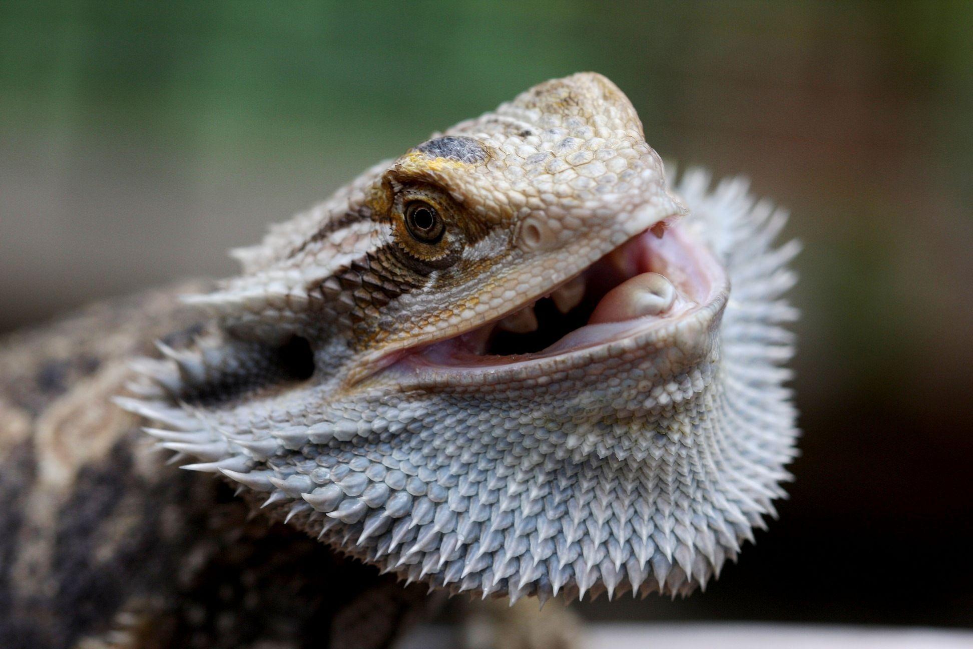 Bearded Dragon Reptiles Pet Beard Wallpaper Pets