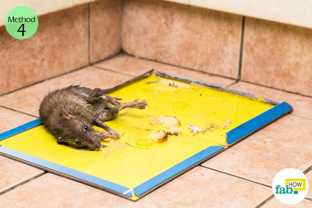 How to get rid of mice fast without poison getting rid