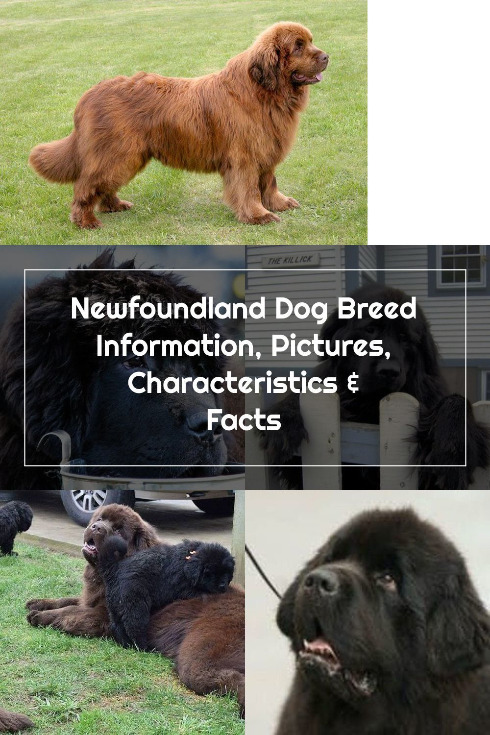 Newfoundland Dog Breed Information Pictures Characteristics Facts Dogtime V 2020 G