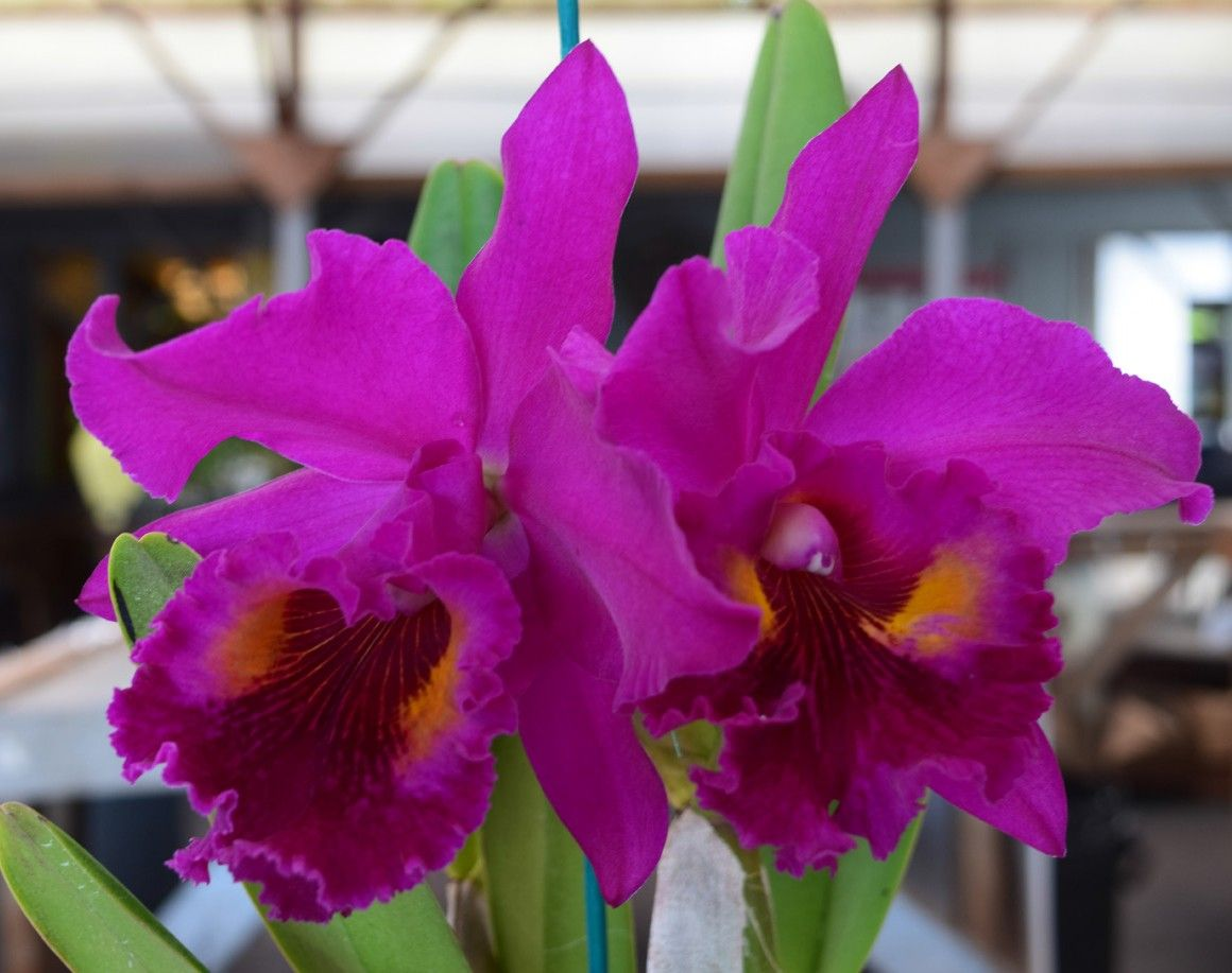 Blc Orchid Purple Ruby 15 Brassavola X Laelia X Cattleya Purple Ruby 15 Is An Easy Grower And Recommended For Eve Orchid Flower Fragrant Plant Orchids