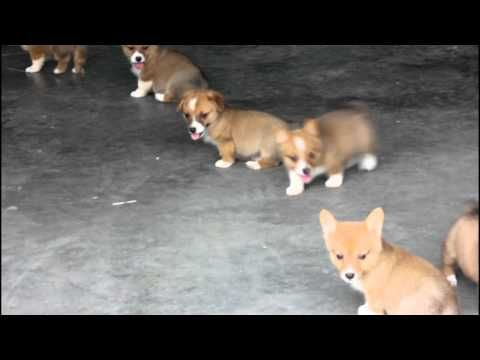Welsh Corgi Puppies For Sale Corgi Puppies For Sale Welsh Corgi Puppies Corgi