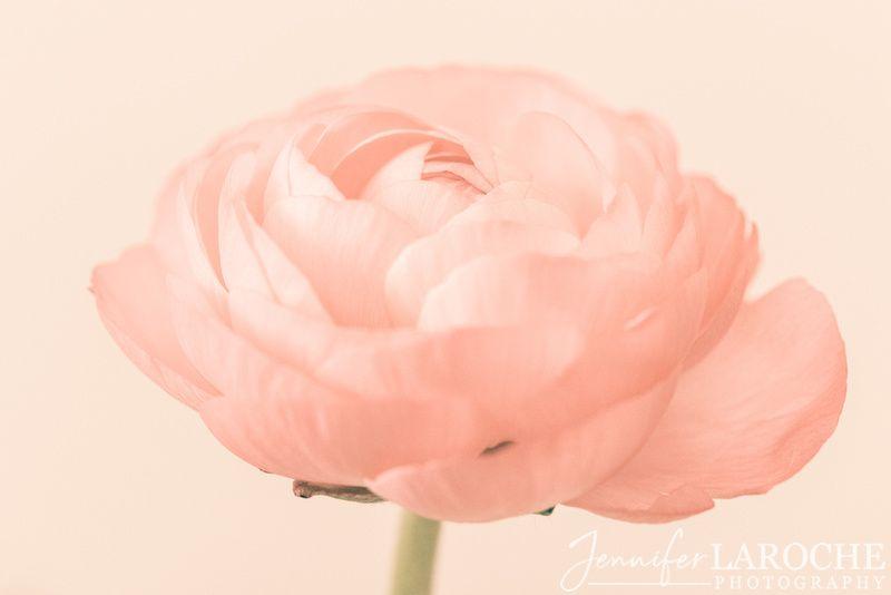 Dreamy Ranunculus Flower In 2020 Flower Photos Landscape Art Prints Flower Close Up