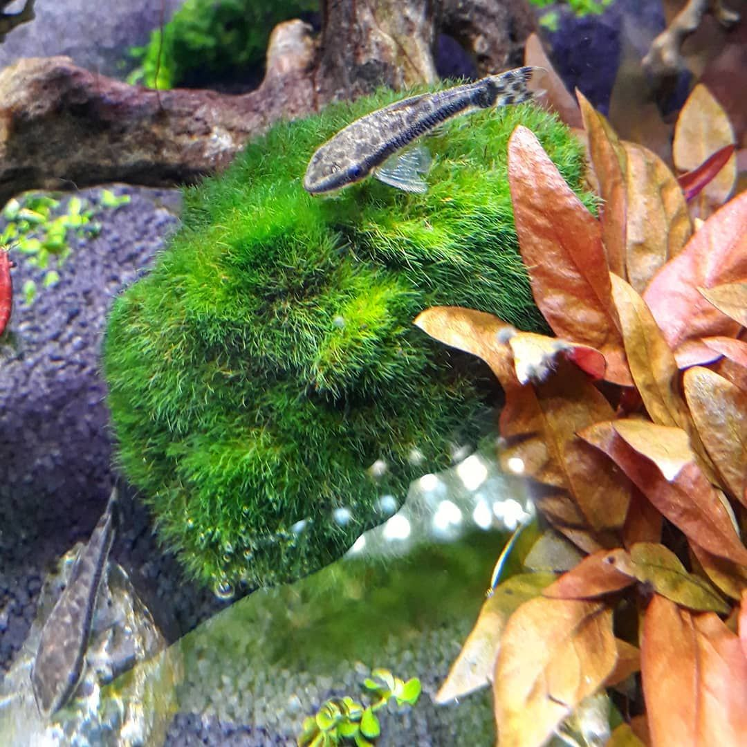 Ohrgitterharnischwelse sind so cute 😍😍😄