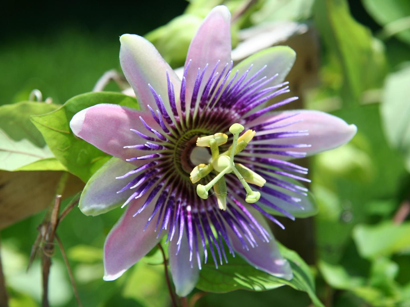 This Tip Is Brought To You Courtesy Of The New Weil Vitamin Advisor Visit Today For Your Completely Free Personalize Passion Flower Flower Care Passion Vine