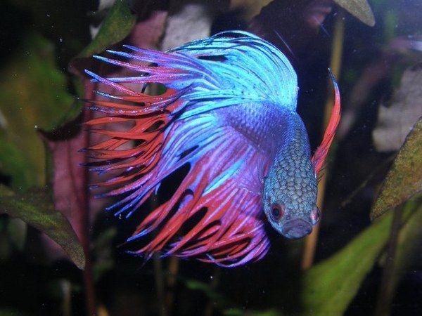 Most beautiful fish beautiful fish most beautiful fish in for Pretty betta fish