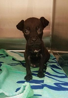 New York Ny Puppy Chihuahua Meet Bluebelle A Dog For Adoption Dogs Chihuahua Chihuahuas For Adoption