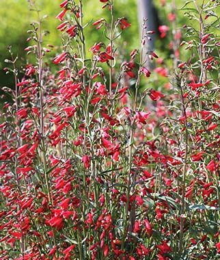Penstemon barbatus, Twizzle .Super-attractive  flower spikes coruscate with small, bell-shaped, vivid scarlet flowers.