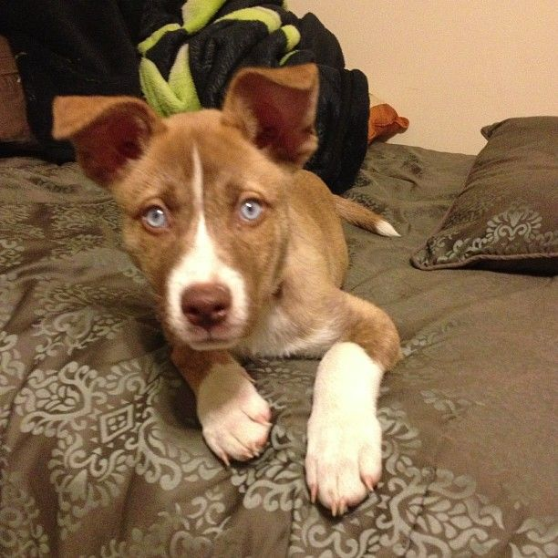 5 Month Old Pitsky Puppy Hoping A Pitsky Is Gonna Be Mine Jon S First Dog Pitsky Puppy Puppies And Kitties