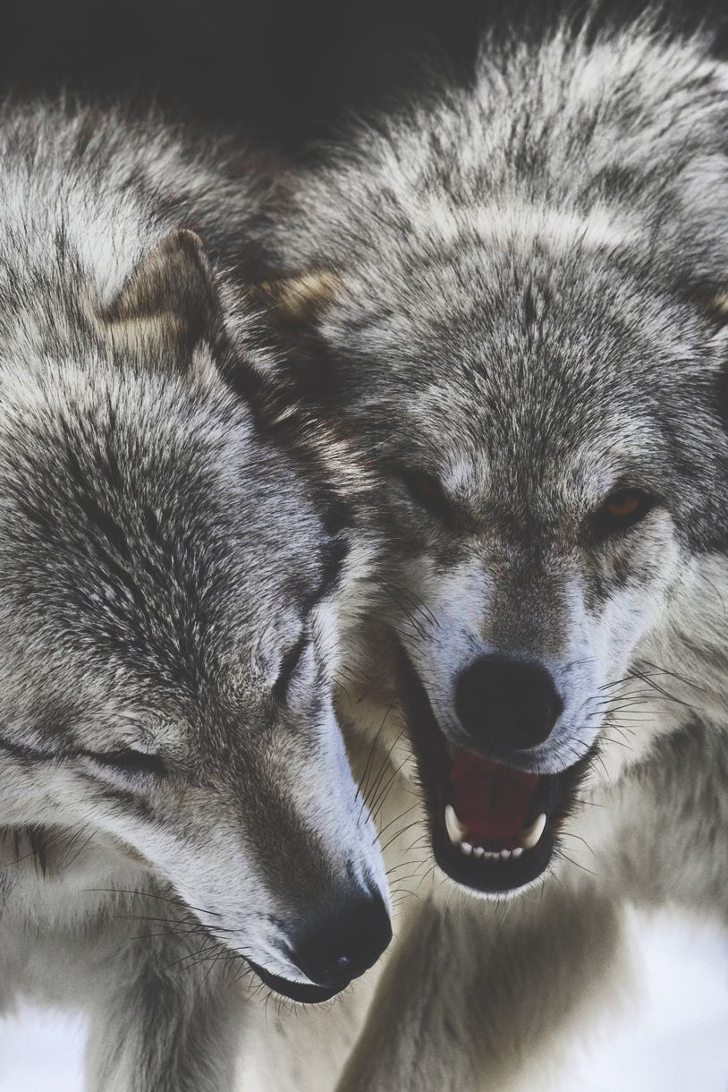 Growlingud wild pinterest lobos lobo siberiano and fotografía