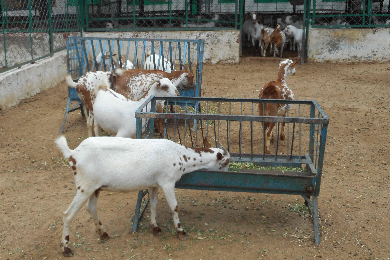 Barbari goat farm | LIVESTOCK FARMING | Livestock farming