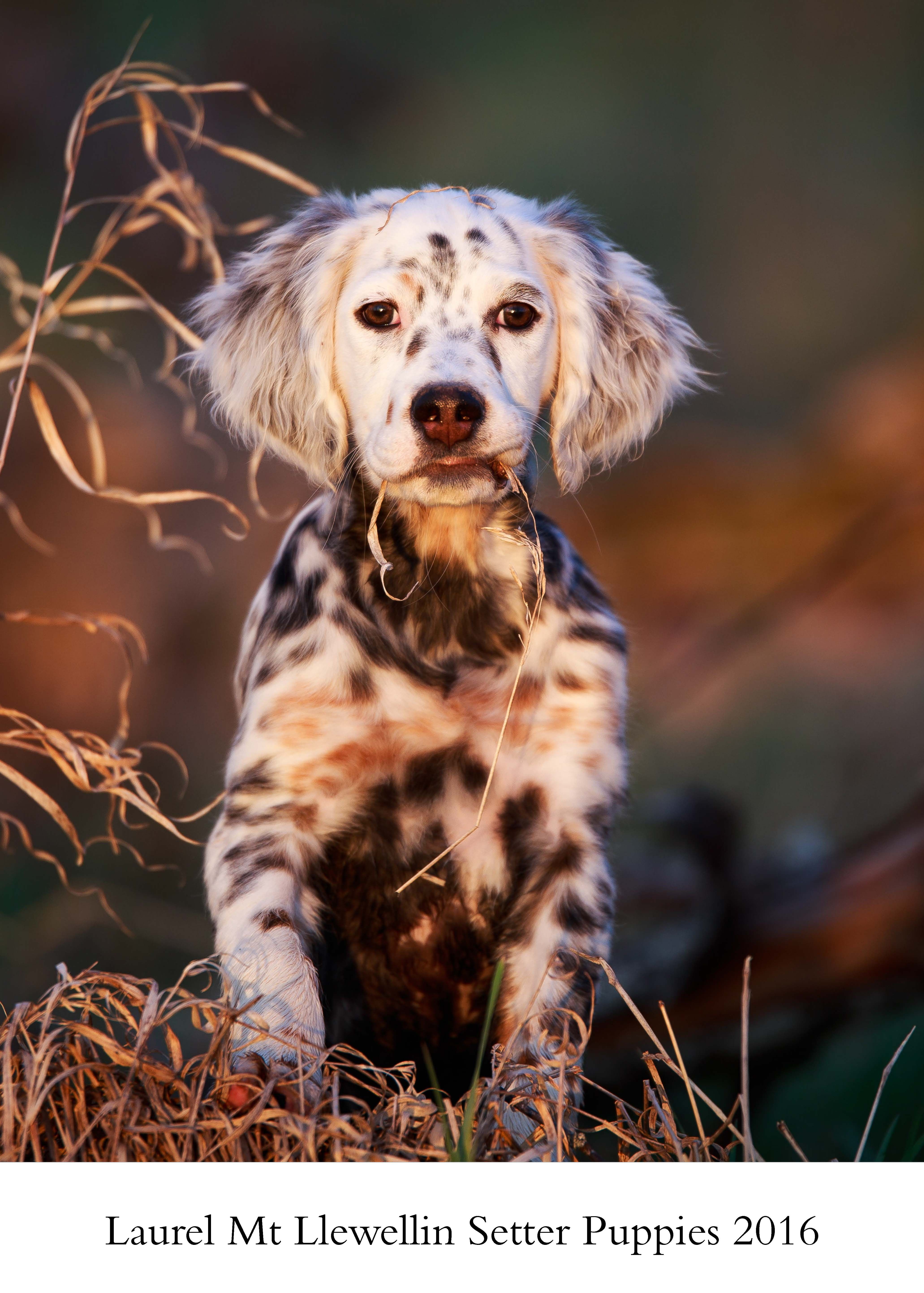 Puppy Calendar All Things Llewellin Setters Llewellin Setter