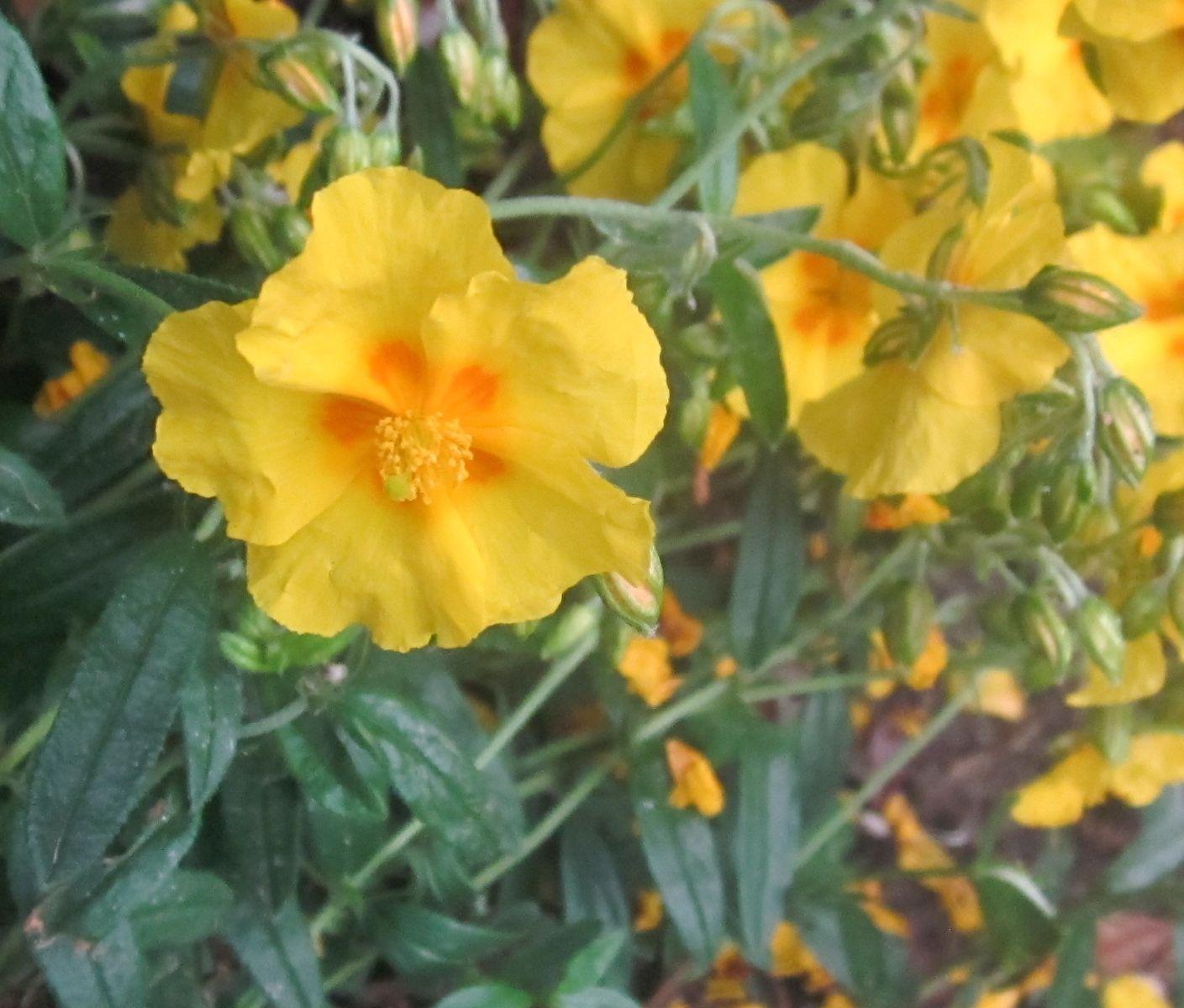 yellow rock-rose   Retaining wall garden in front   Pinterest ...