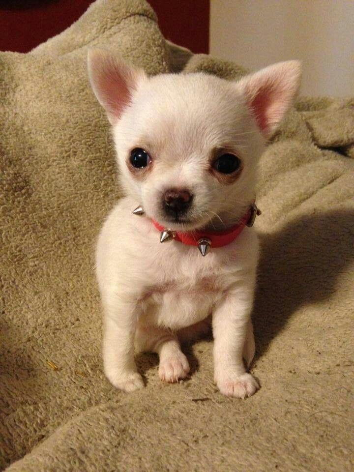 Love The Little Spiked Collar Cute Chihuahua Cute Animals