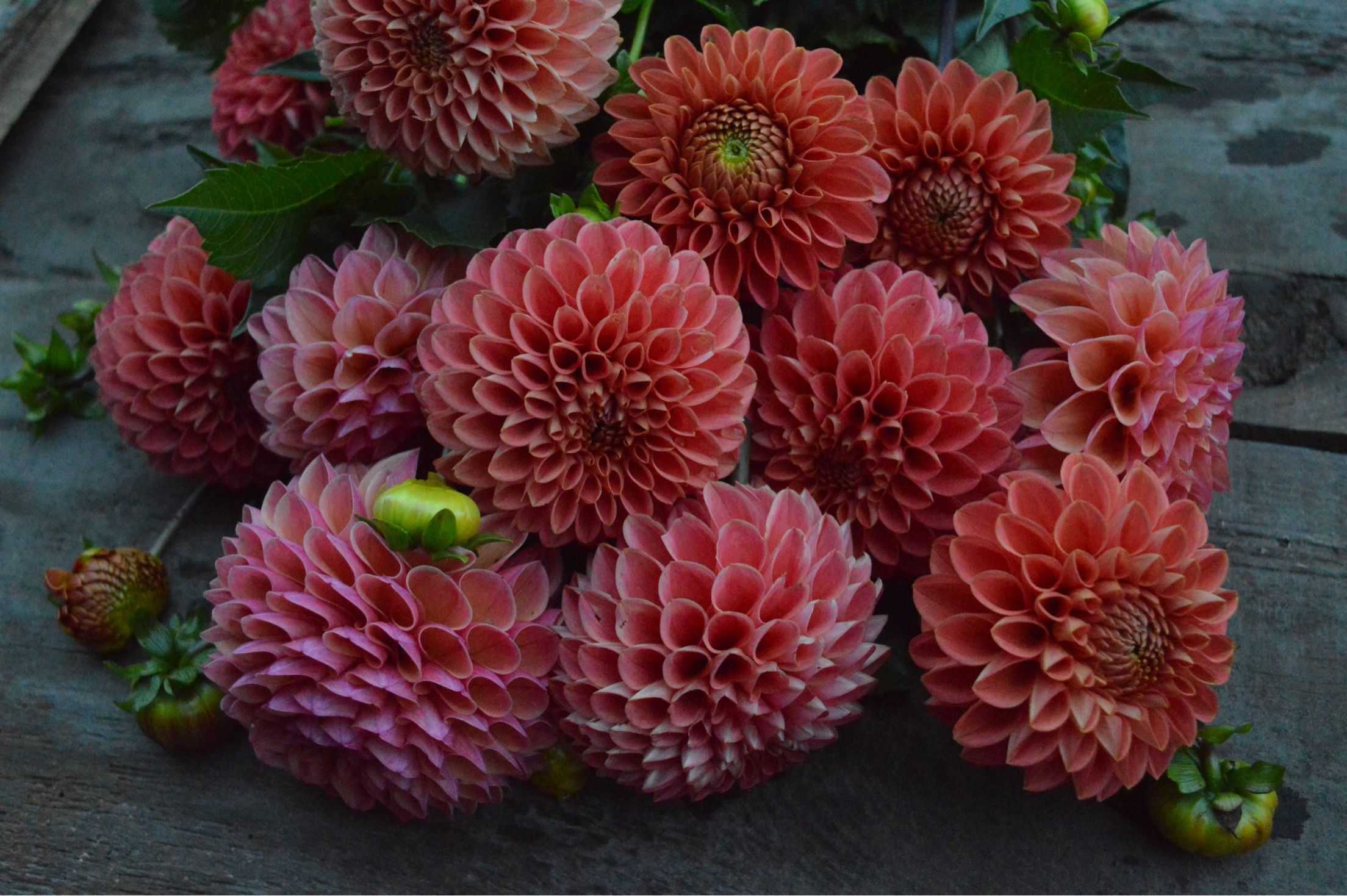 There Are Lots Of Dahlias Available In October October Flowers Bloom October