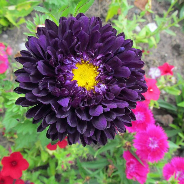 Deep Purple Purple Flowers Flower Seeds Aster Flower