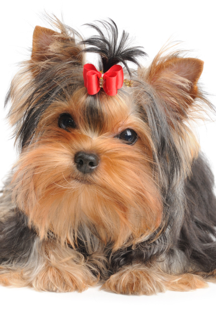 Lovely Puppy Of The Yorkshire Terrier Isolated On White Yorkshireterrier Yorkshire Terrier Terrier Yorkie