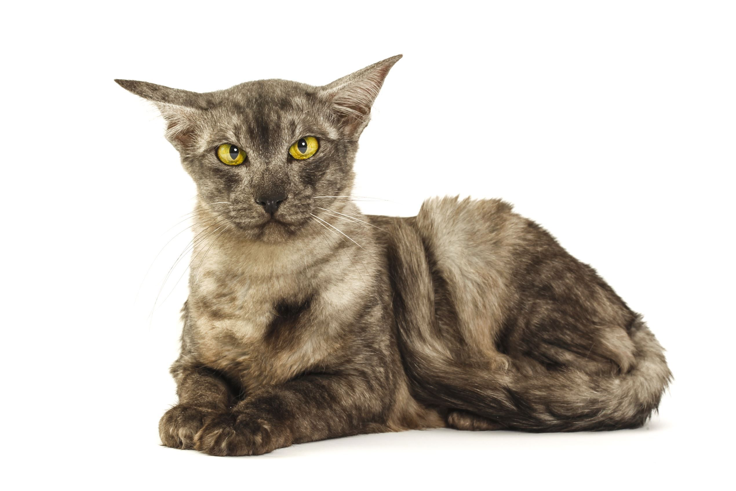 SneezeFree Hypoallergenic Dog and Cat Breeds Cat