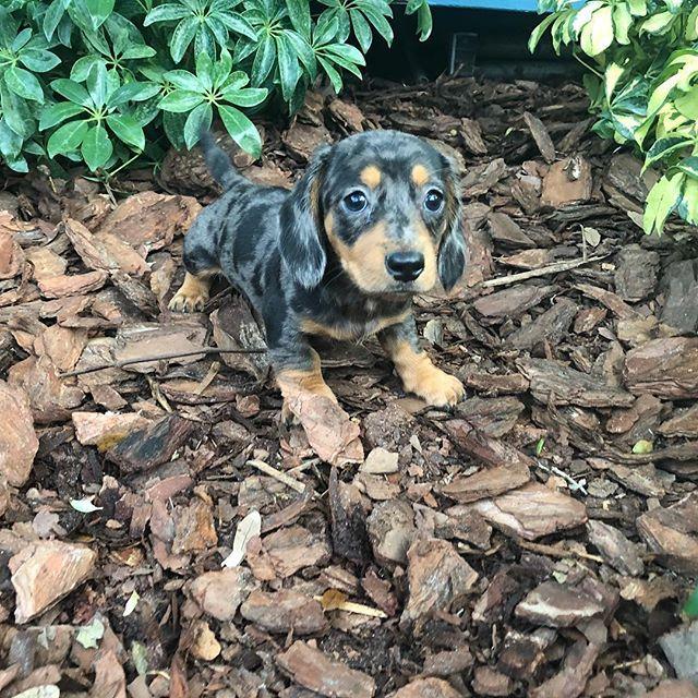 Minidachshund Dachshund Dachshundsofinstagram Pup Pups Puppy