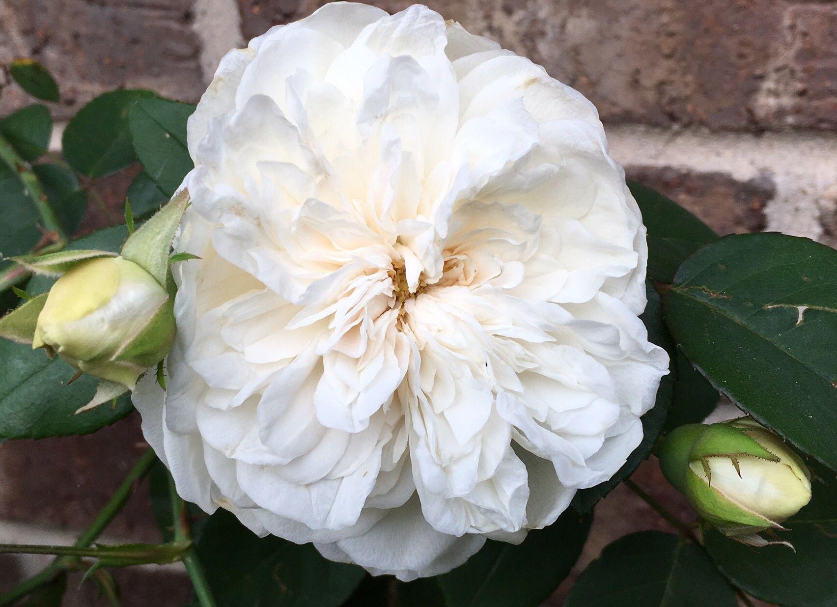 Sombreuil roses pinterest