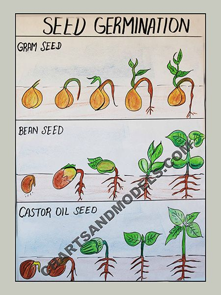 Buy Seed Germination Charts Online Seed Germination Anchor Charts Germination