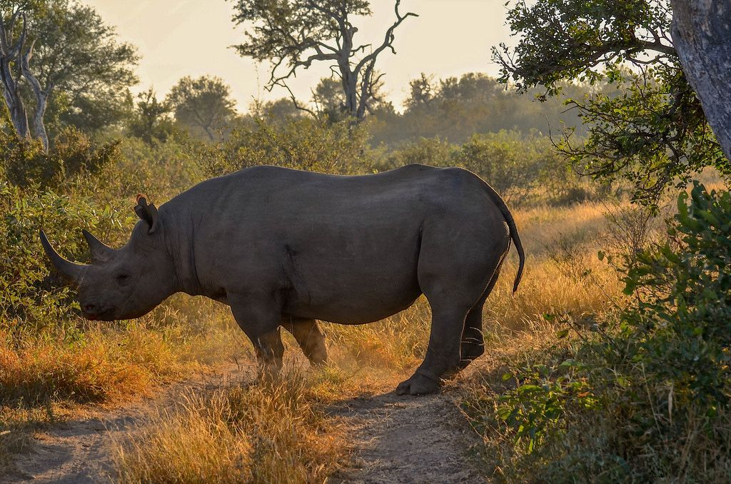 Rhino At Dawn