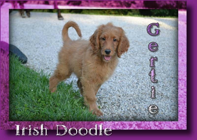 Gertie Female Irish Doodle 650 Irish doodle, Poodle mix