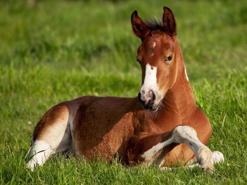 Les Fonds D Ecran Un Poulain Couche Dans L Herbe Chevaux Droles Image Cheval Problemes Equestres