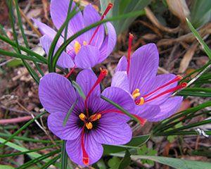 Saffron Flowers, as found in our Absolute Rose + Saffron ... Kashmiri Saffron Corms For Sale