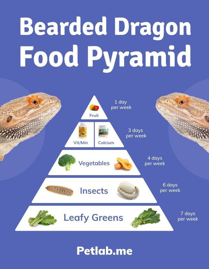 Bearded Dragon Food Pyramid