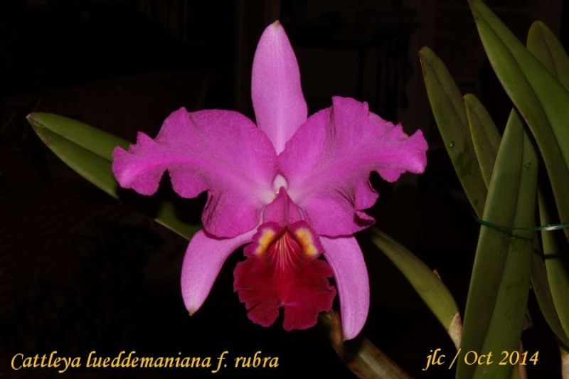 Cattleya lueddemanniana rubra