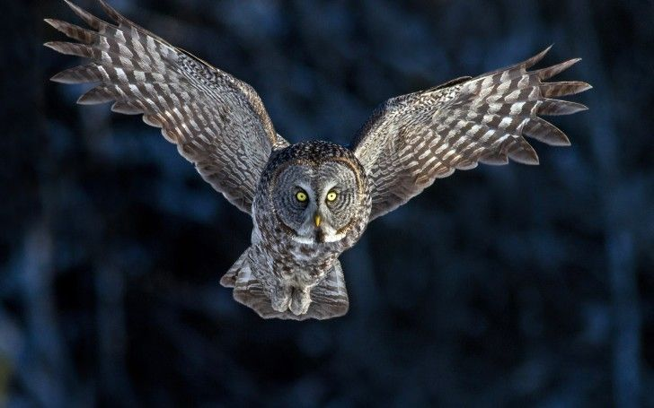 Owl Flying Owl Wallpaper Beautiful Owl Bird