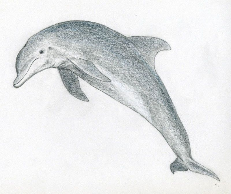 Good Sketches To Draw How To Draw A Dolphin Seahorse Pinterest