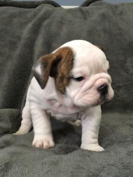 Litter Of 5 Bulldog Puppies For Sale In Swartz Creek Mi Adn