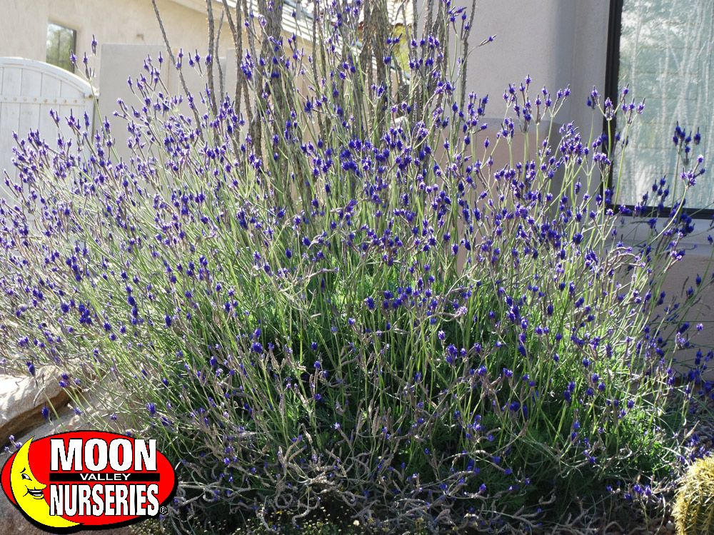 Spanish Lavender is a great bush to add color to your desert or
