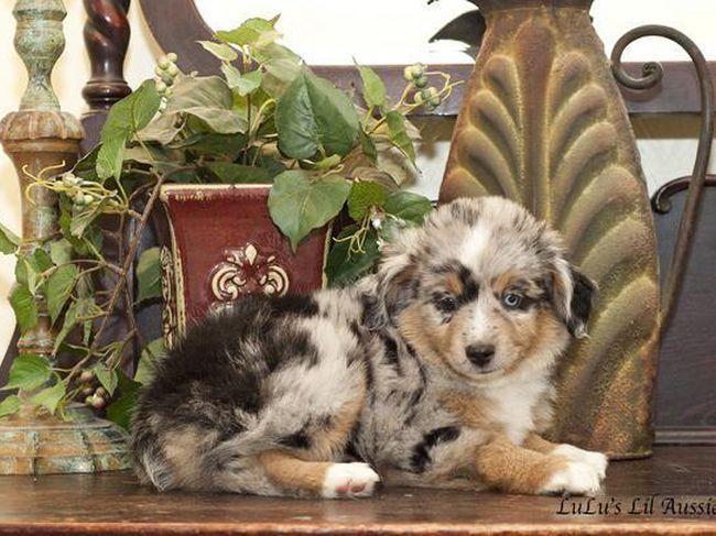 Lulus Lil Aussies Toy Australian Shepherds Stunning