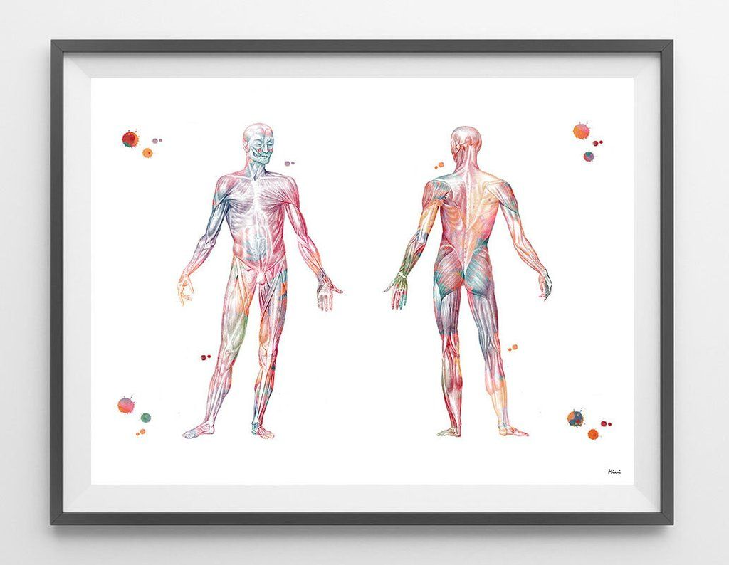 Human Body muscular system watercolor print anatomy art