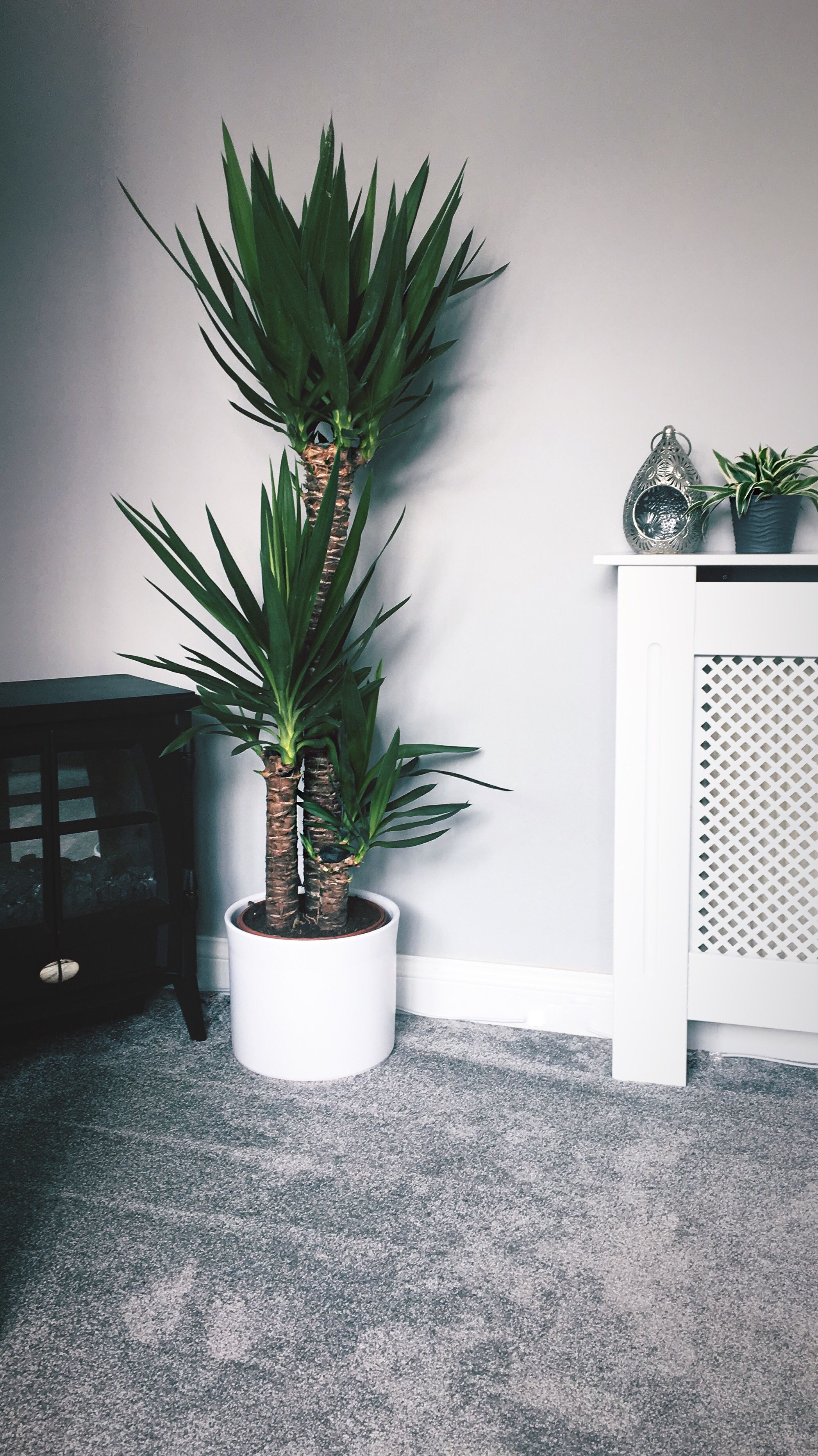 Home Tropical Plant Yucca Tree Indoor Plant Chic Style Bohemian Yucca Tree Indoor Plants Tropical Plants
