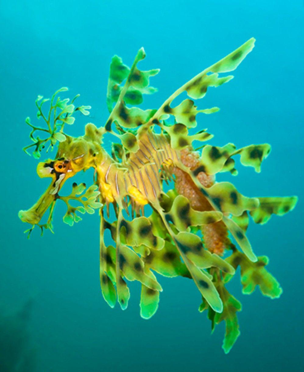 Leafy Seadragon Leafy Sea Dragon Animals Beautiful Weedy Sea Dragon