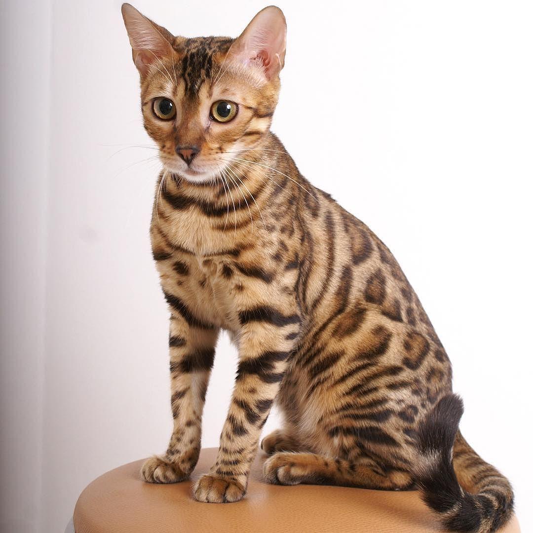 Me 6 Months Ago Simbathebengal Com Simbabengal Kittens Cats Bengal Crazy Cats