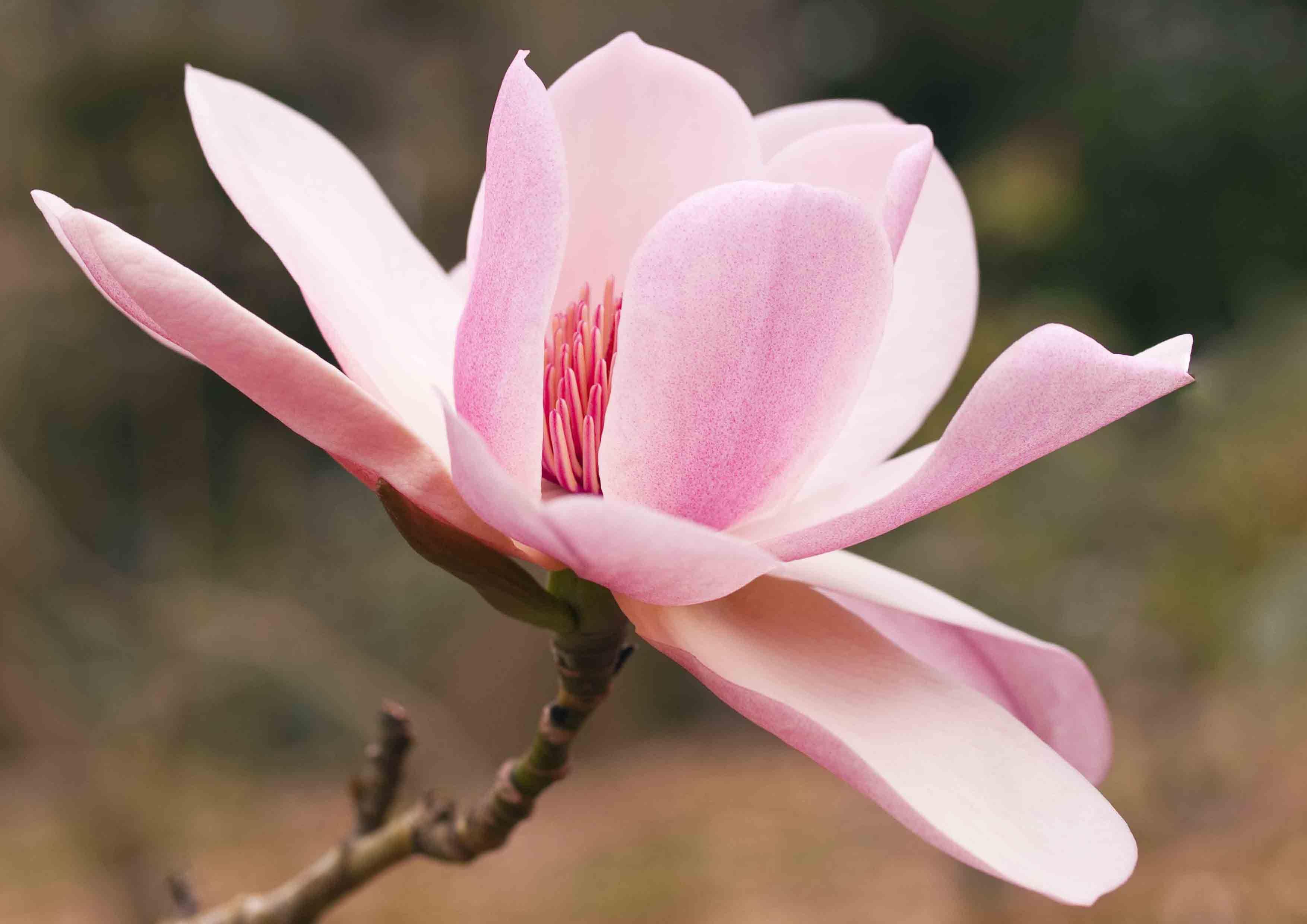 Pin by mandy geddings on flowers pinterest flowers magnolia picturespink magnolia flower headg 35082480 love flowers mightylinksfo
