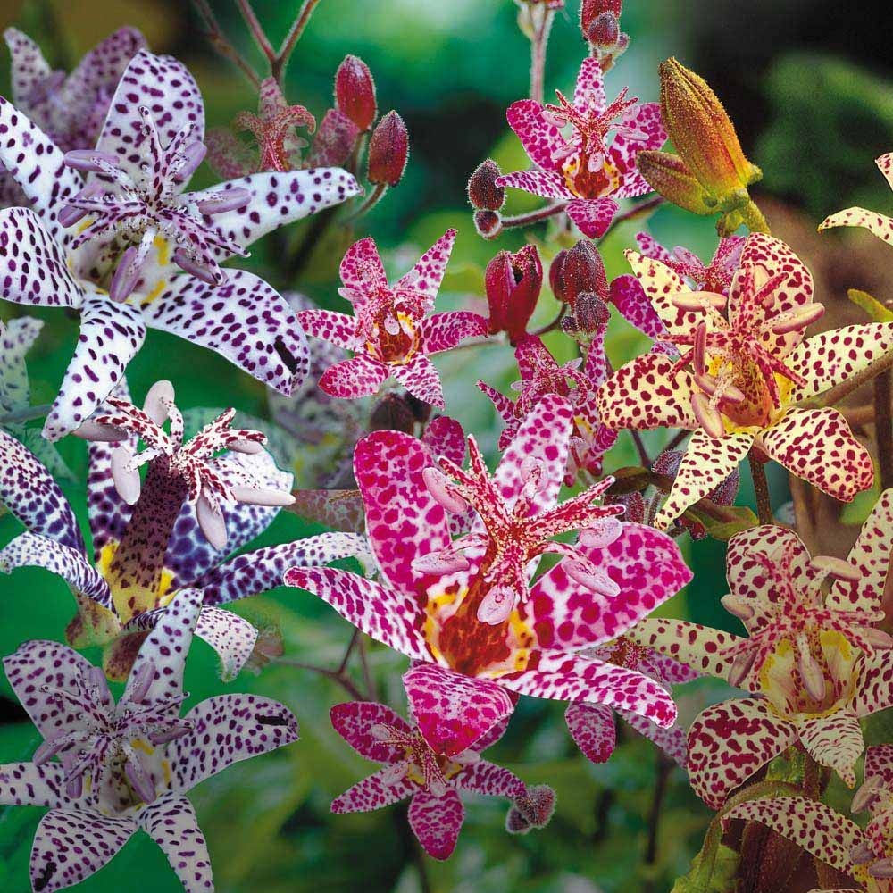 Japanese toad lily collectiontricyrtis pinterest herbaceous japanese toad lily japanese toad lily collection herbaceous border plants van meuwen izmirmasajfo