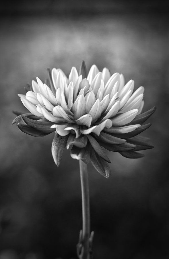 Hasta una flor se puede ver bonita en blanco y negro