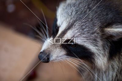 raccoon portrait - A portrait of a raccoon