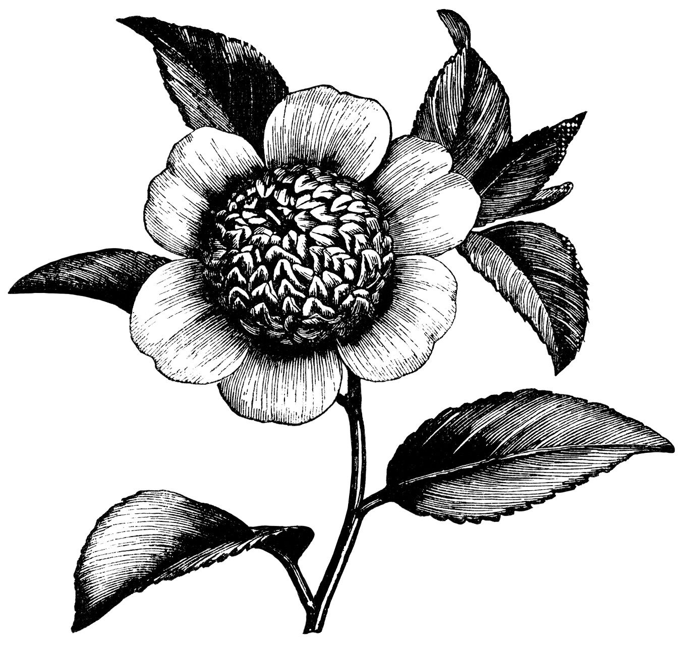 camellia japonica anemonaeflora camellia flower illustration black rh pinterest ph black and white clipart flower pot black and white flower clip art free images