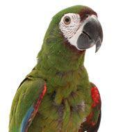 Severe Macaw My Boy Tweety Severe Macaw Bird Supplies Bird