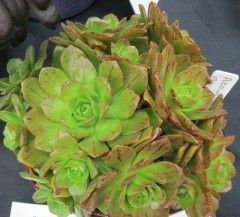 Aeonium Bronze Medal  International Crassulaceae Networkaeonium